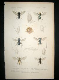 Cuvier C1840 Antique Hand Col Print. Insects - 181